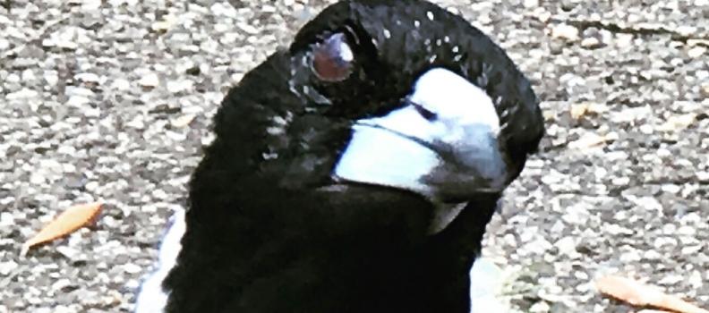 Songbird trills
